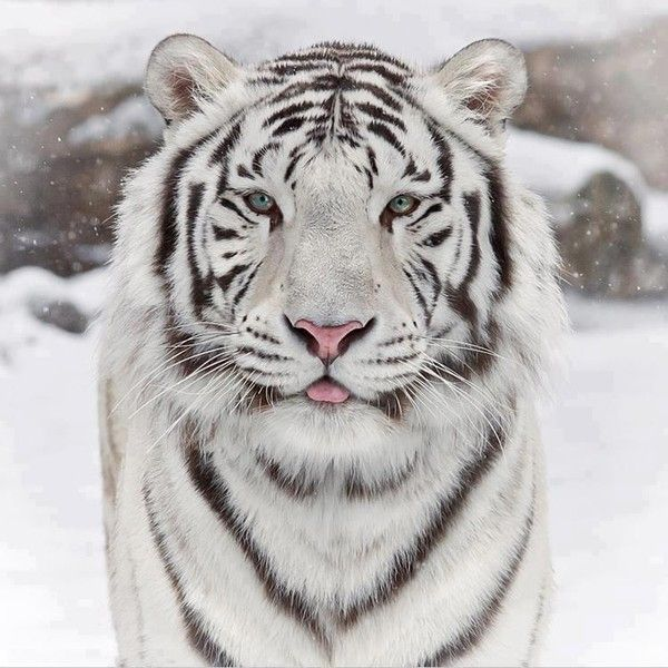Tigre blanc - Photo de tigre blanc a imprimer ...