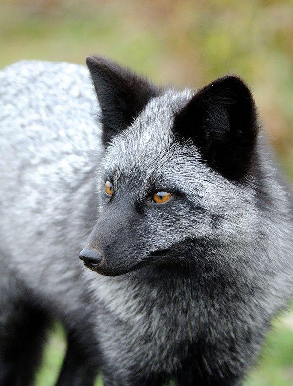Les plus beaux renards du monde for Le plus beau coq du monde