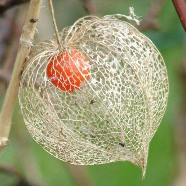 Fleur amour en cage - Fruit cage d amour ...