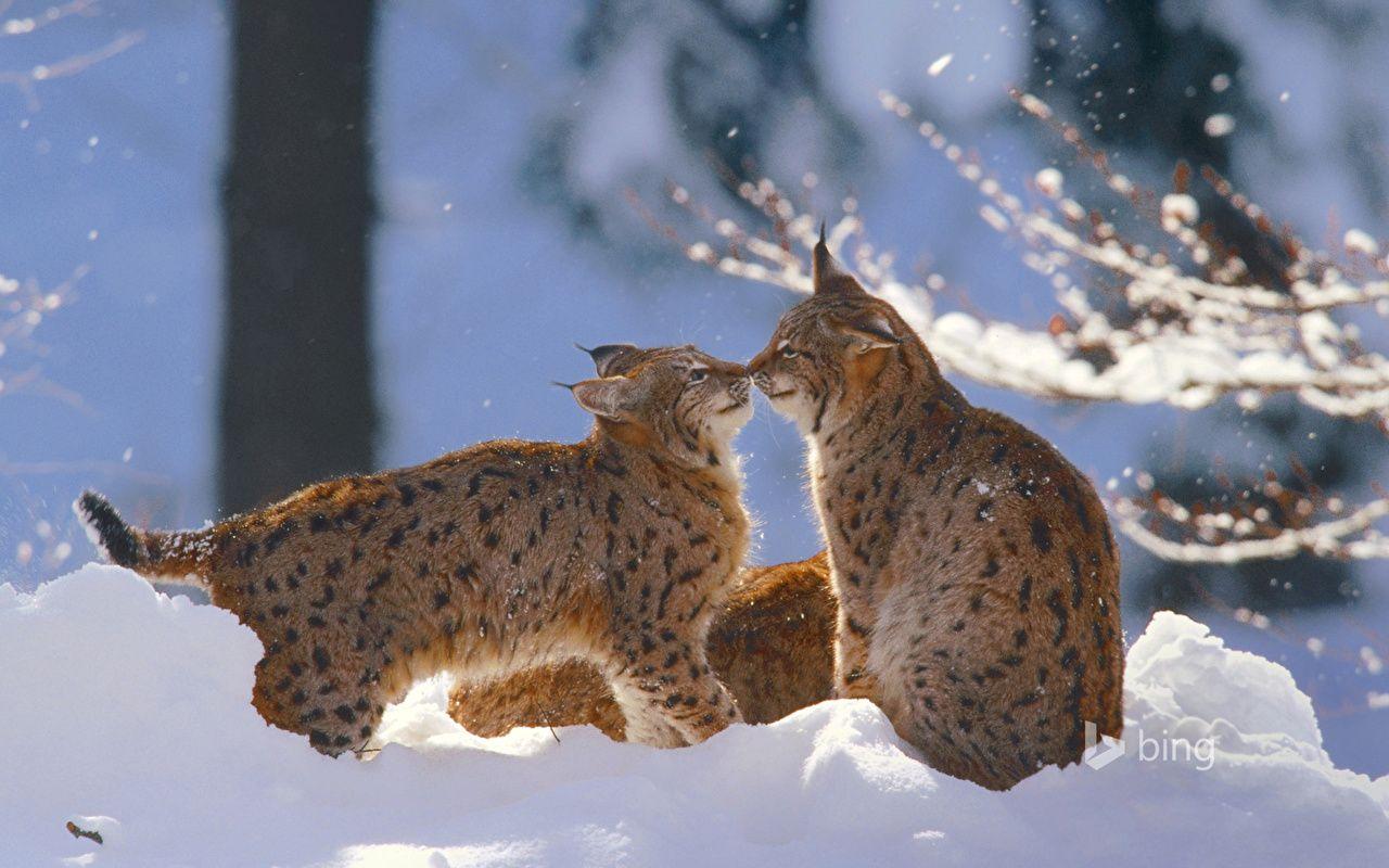 Lynx - Animaux wallpaper ...