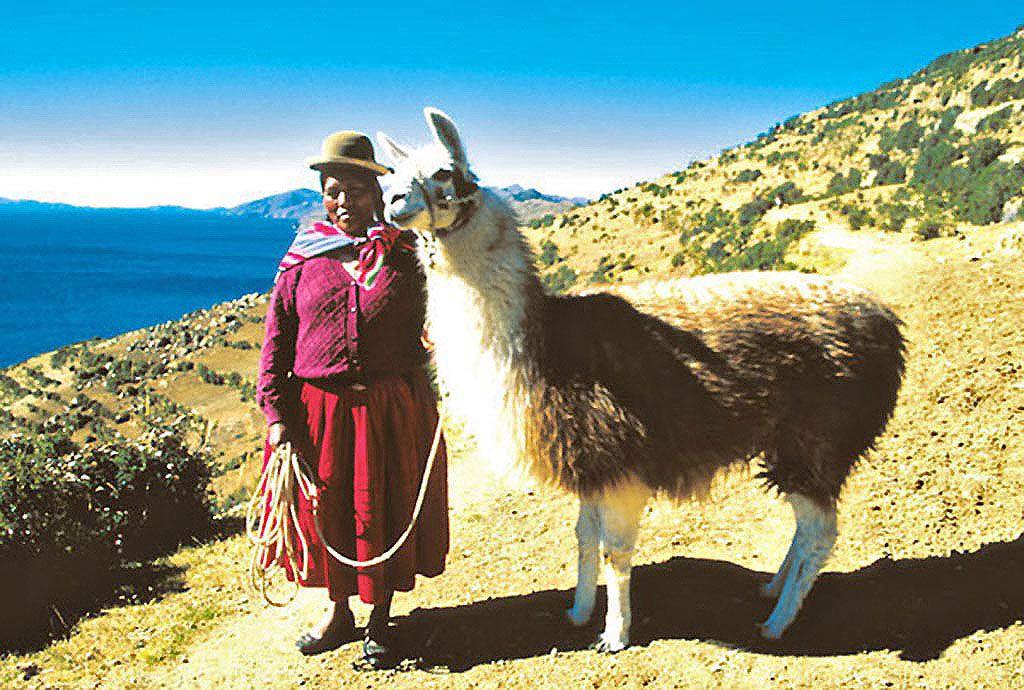 le lama du Pérou