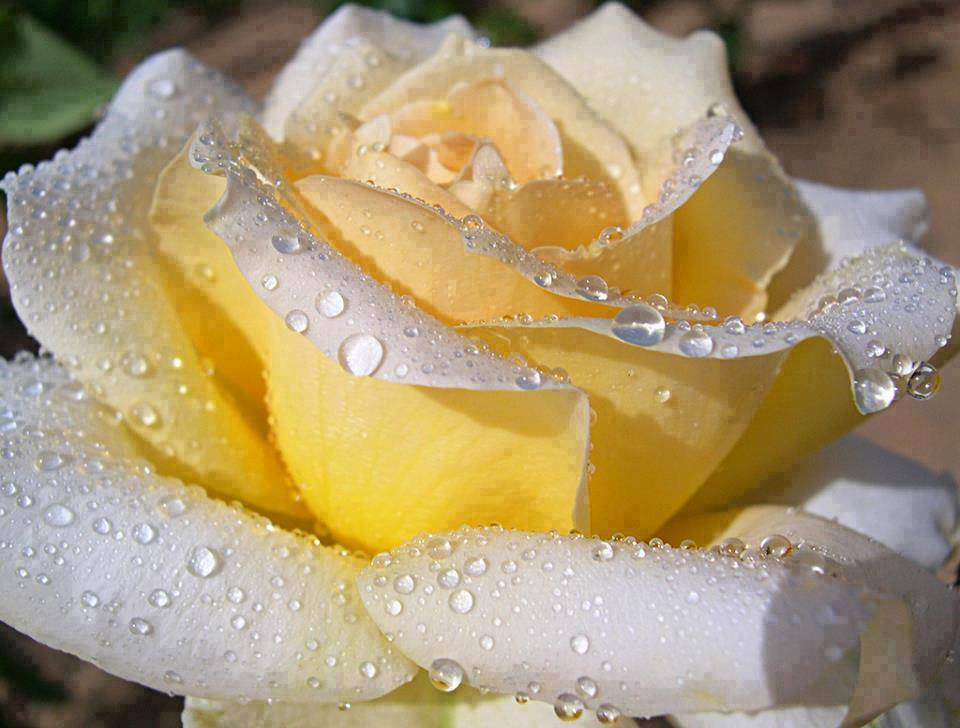 Yellow Rose With Water Drops: Page 11