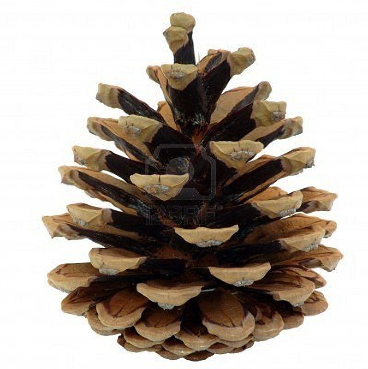 Cone Tree Pommes De Pin